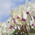 シクラメンの病気・白い粉がつく原因は害虫?悪影響はあるのか?