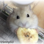ハムスターはバナナが食べれるの?皮やバナナチップは?与える時の注意点も紹介!